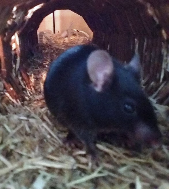 Mäuse (w)