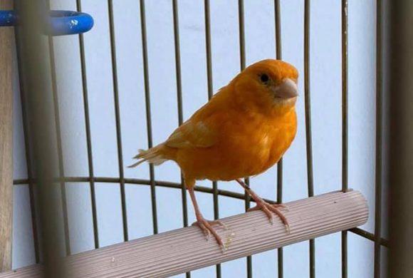Kanarienvogel, Gifhorn