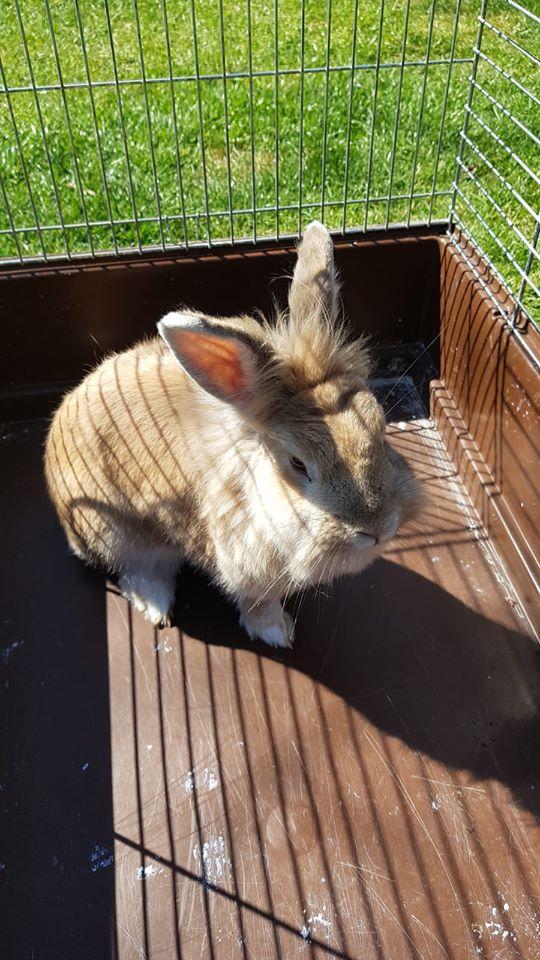 Kaninchen, Gifhorn