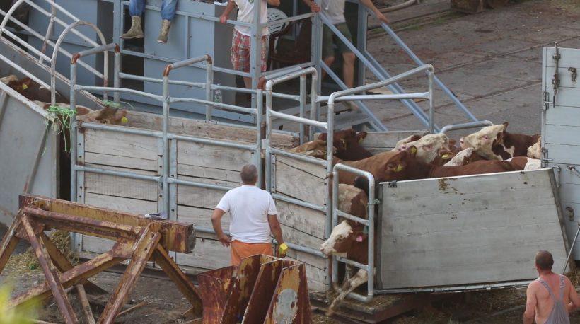 Missstände bei Tierexporten per Schiff