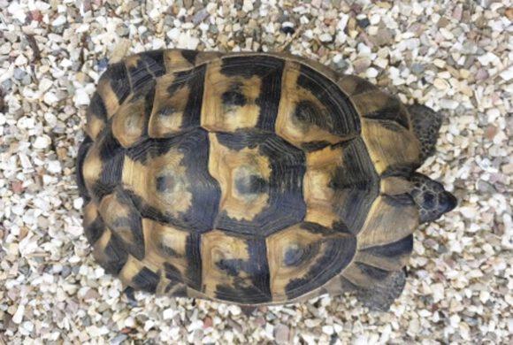 Schildkröte, Bernsteinsee