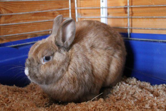 Kaninchen, Wagenhoff