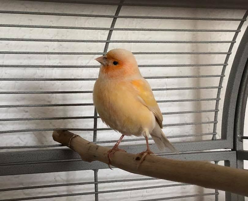 Kanarienvogel in Gifhorn gefunden