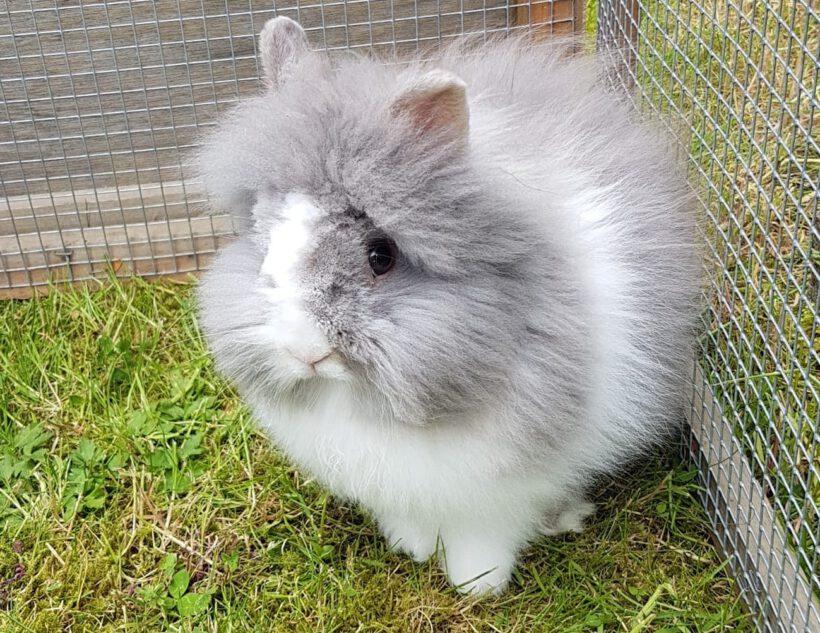 Kaninchen Sturmpfeil in Isenbüttel vermisst!