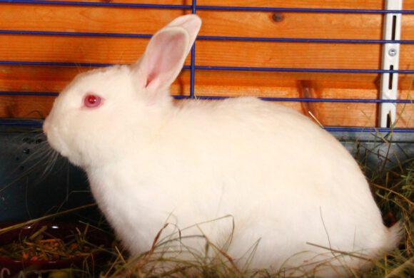 Kaninchen aus Gifhorn