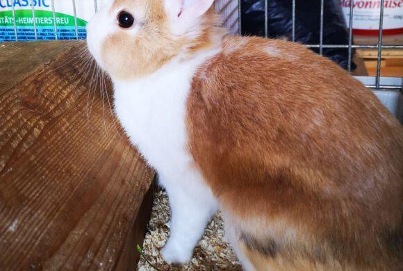 Kaninchen aus Calberlah